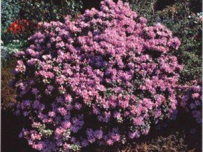 Botanische rhododendron