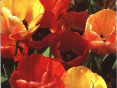 Darwin tulpen