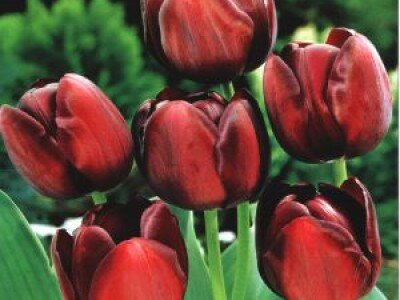 \ / Enkelvoudige late tulpen
