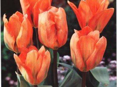 Fosteriana tulpen