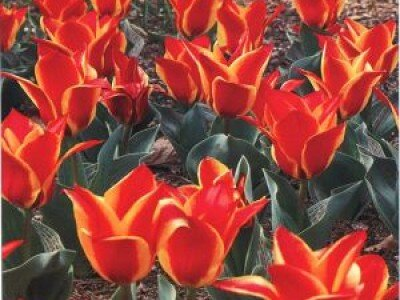 Greigii tulpen
