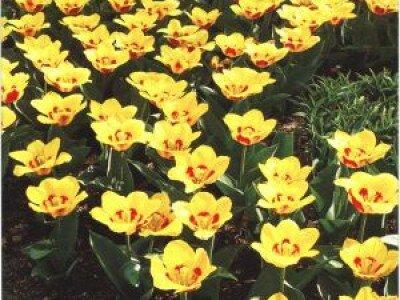 Kaufmanniana tulpen