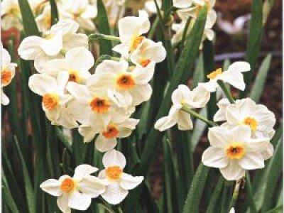 Tazetta narcis