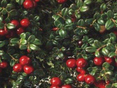 Vossenbes en cranberry