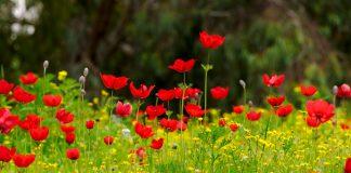 anemonen veld